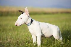 Chiot de bull-terrier jouant dans l'herbe Photographie stock libre de droits