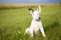 Chiot de bull-terrier jouant dans l'herbe Photos libres de droits