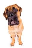 Chiot de Bullmastiff écorçant fort Photos libres de droits