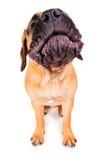 Chiot de Bullmastiff écorçant fort Photographie stock