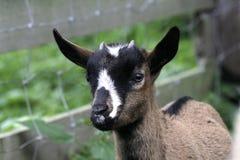 Chiot de chèvre Photographie stock libre de droits