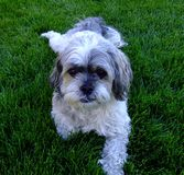 Chiot de Charley sur l'herbe Photo libre de droits