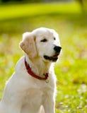 Chiot de chien d'arrêt Image libre de droits