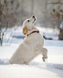 Chiot de chien d'arrêt Photographie stock