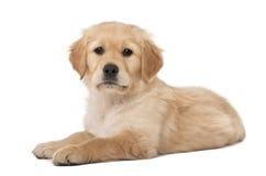 Chiot de chien d'arrêt d'or, 2 mois, se trouvant Image stock