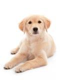 Chiot de chien d'arrêt d'or Photos stock