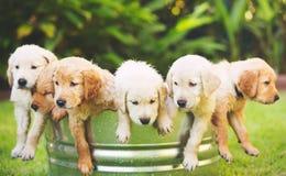 Chiot de chien d'arrêt d'or Image libre de droits