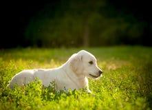 Chiot de chien d'arrêt d'or Photographie stock libre de droits