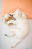 Chiot de chien d'arrêt d'or Images libres de droits