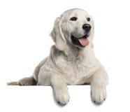Chiot de chien d'arrêt d'or, 5 mois Image stock