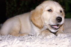 Chiot de chien d'arrêt d'or 6 semaines de  Photographie stock