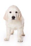 Chiot de chien d'arrêt d'or Image stock