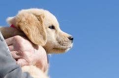 Chiot de chien d'arrêt d'or images stock
