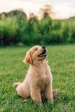 Chiot de chien d'arrêt d'or photo libre de droits