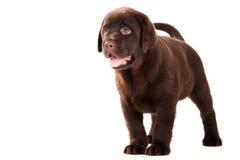 Chiot de chien d'arrêt de chocolat sur le blanc Photographie stock