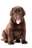 Chiot de chien d'arrêt de chocolat sur le blanc Photos libres de droits