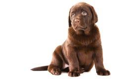 Chiot de chien d'arrêt de chocolat sur le blanc d'isolement Photos stock
