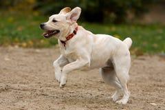 Chiot de chien d'arrêt de Labrador Images stock