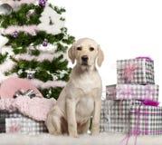 Chiot de chien d'arrêt de Labrador, 3 mois, se reposant Photographie stock libre de droits