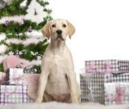 Chiot de chien d'arrêt de Labrador, 4 mois, Image stock