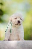 Chiot de chien d'arrêt de Labrador Photographie stock