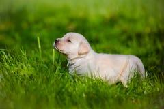 Chiot de chien d'arrêt de Labrador Photographie stock libre de droits