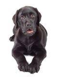 Chiot de chien d'arrêt de Labrador de Noir-Chocolat Photos libres de droits