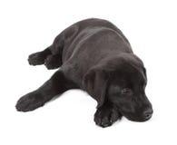 Chiot de chien d'arrêt de Labrador de Noir-Chocolat Photographie stock