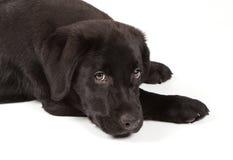 Chiot de chien d'arrêt de Labrador de Noir-Chocolat Photographie stock libre de droits
