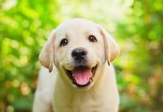 Chiot de chien d'arrêt de Labrador en cour Photographie stock libre de droits