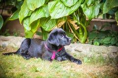 Chiot de chien d'arrêt de Labrador en cour Photos stock
