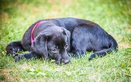 Chiot de chien d'arrêt de Labrador en cour Photo stock