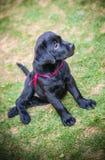 Chiot de chien d'arrêt de Labrador en cour Image stock