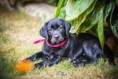 Chiot de chien d'arrêt de Labrador en cour Images libres de droits