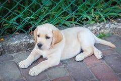 Chiot de chien d'arrêt de Labrador en cour Photo libre de droits