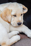 Chiot de chien d'arrêt de Labrador en cour Image libre de droits