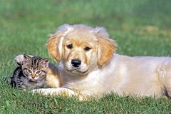 Chiot de chien d'arrêt et amitié d'animal d'amis de chaton Photographie stock libre de droits