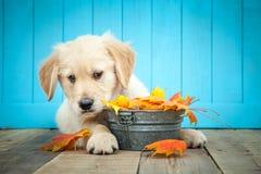 Chiot de chien d'arr?t d'or image libre de droits