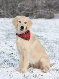 Chiot de chien d'arrêt d'or Photographie stock
