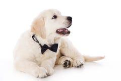 Chiot de chien d'arrêt d'or Photos libres de droits