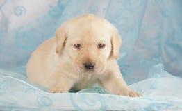 Chiot de chien d'arrêt de Labrador Photos stock