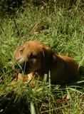 Chiot de chien dans l'herbe Photographie stock libre de droits