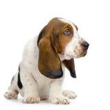 Chiot de chien de basset Photographie stock libre de droits