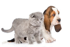 Chiot de chien de chaton et de basset se tenant dans le profil D'isolement sur le blanc Image stock