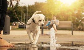 Chiot de chien de Labrador regardant curieux la fontaine d'eau photo libre de droits