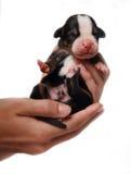 Chiot de chien de montagne dans des mains Image libre de droits