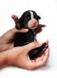 Chiot de chien de montagne dans des mains Images libres de droits
