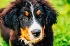 Chiot de chien de montagne de Bernese (Berner Sennenhund) Photos libres de droits