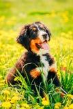 Chiot de chien de montagne de Bernese (Berner Sennenhund) Photo libre de droits