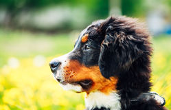 Chiot de chien de montagne de Bernese (Berner Sennenhund) Images stock